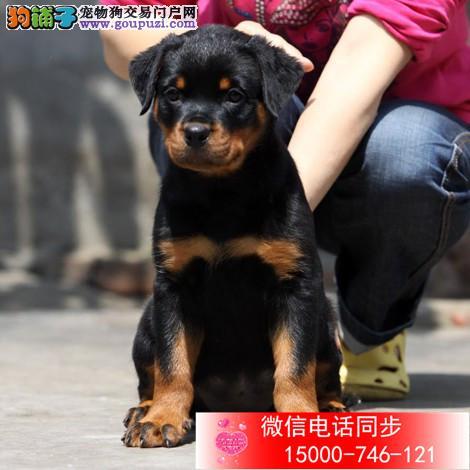 上海罗威纳犬舍双血统高品质德系大头宽头版罗威纳幼犬