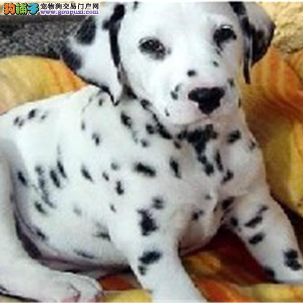 上海斑点狗犬舍出售高端斑点狗幼犬 保证纯种健康