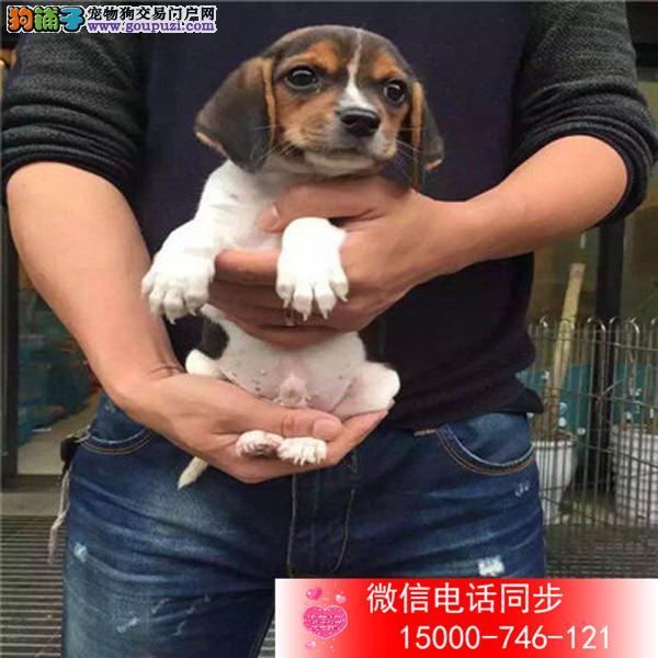 纯种大骨量德牧幼犬 王者风范 品相纯正保证健康品质