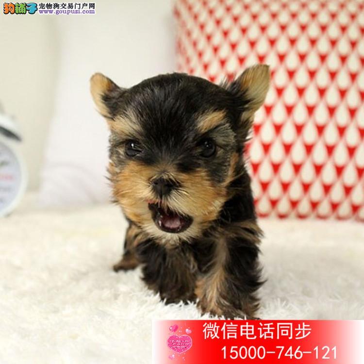 上海纯种金头银背蓝背约克夏幼犬 超小体 茶杯体 质保