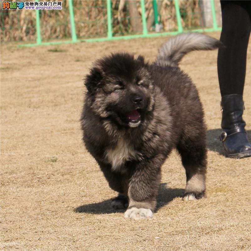 松狮犬舍出售纯种松狮幼犬,均可上门挑选