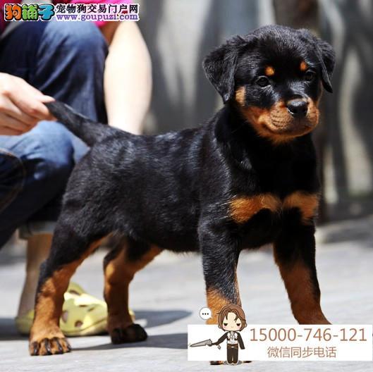 德系罗威纳幼犬高大威猛四肢粗壮品相好疫苗已做