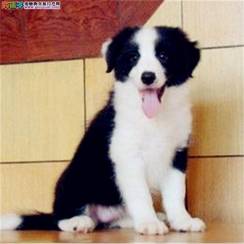 出售纯种边境牧羊犬幼犬品质保证公母全有