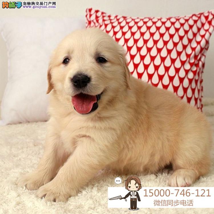 基地出售高加索犬舍直销让顾客买的优惠放心和纯种