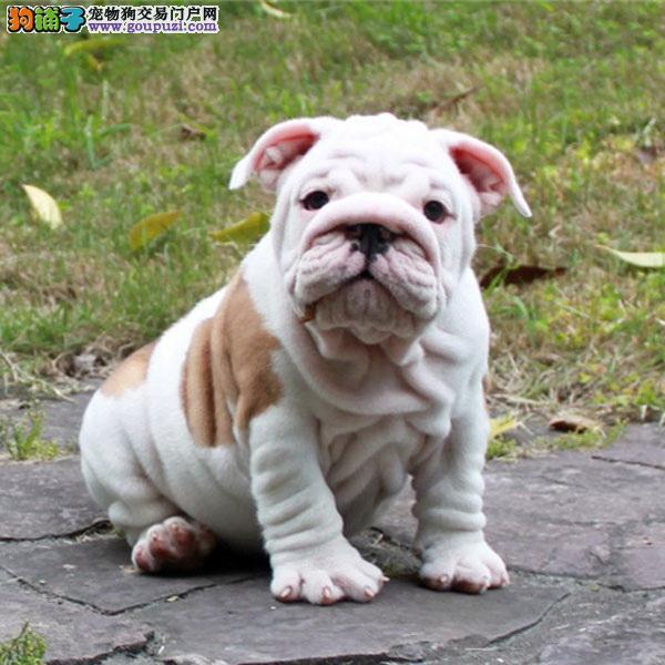 犬舍出售超可爱小英斗英牛英国斗牛品相好欢迎咨询