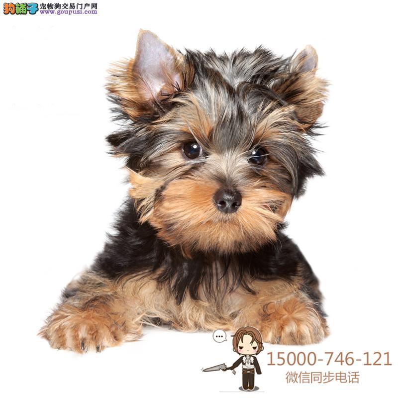 纯种可爱的约克夏幼犬宝宝出售品质可靠疫苗齐全