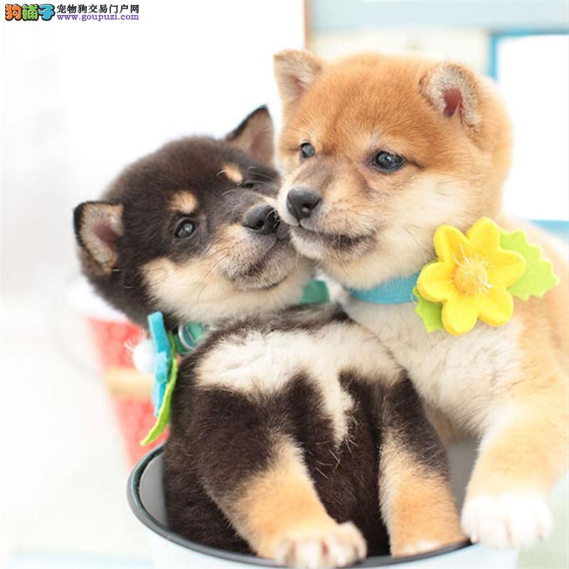 犬舍出售精品柴犬颜色都有证书齐全欢迎亲上门挑选
