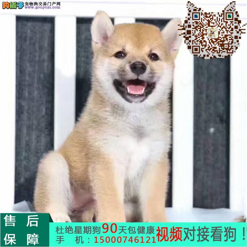 苏州世界上最忠诚的犬 纯种健康的柴犬幼犬活泼靓丽