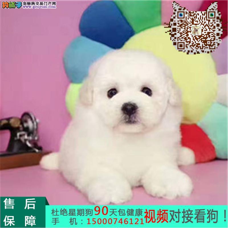 苏州纯种泰迪犬 玩具泰迪犬 茶杯泰迪犬 灰色泰迪幼犬