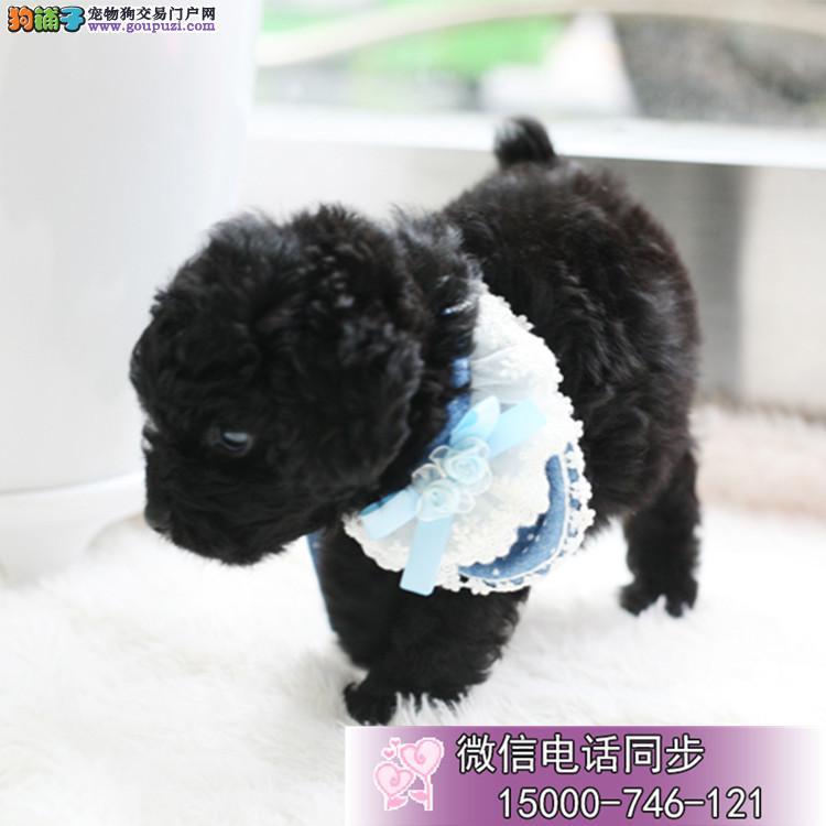 专业繁殖高纯种高品质泰迪犬 哪里有卖泰迪的