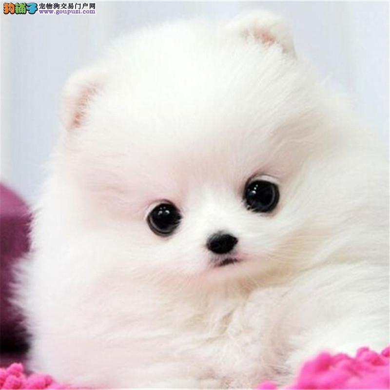 犬舍促销现全部狗狗八折出售 上海哪里有卖博美的