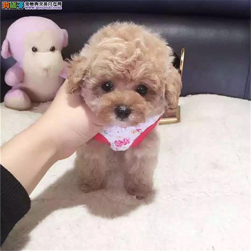 纯种赛级茶杯泰迪犬红色泰迪幼犬出售玩具泰迪