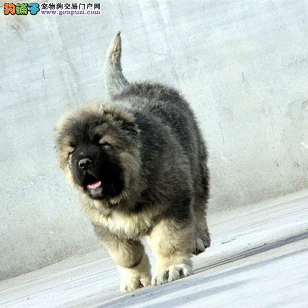 基地巴哥犬舍出售巴哥幼犬,保健康纯种可上门