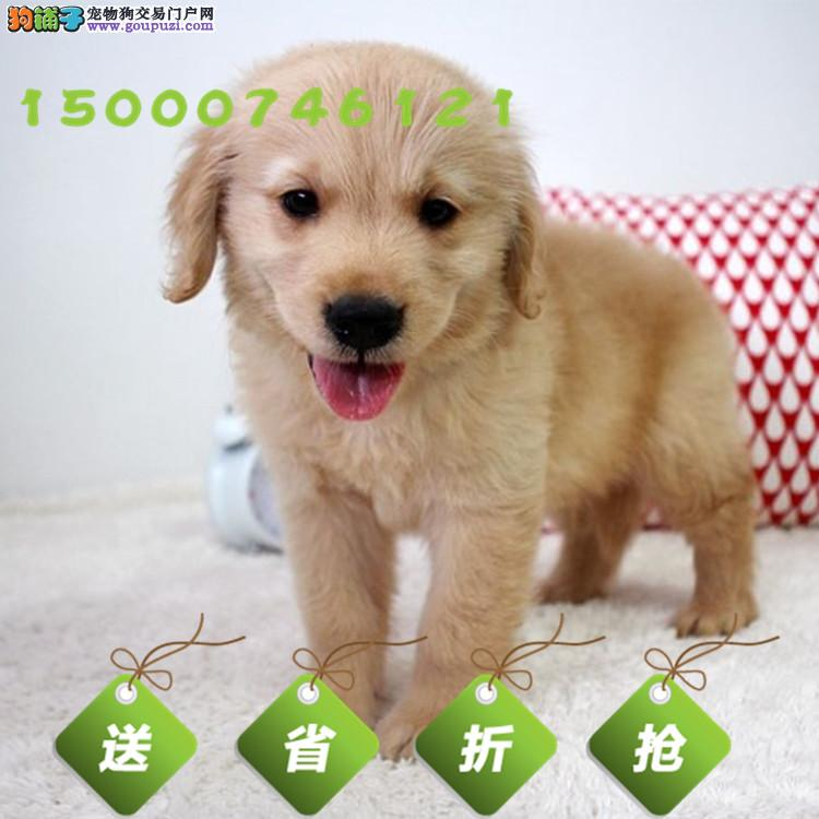 出售纯种金毛幼犬 健康有保障 售后签协议 高品质