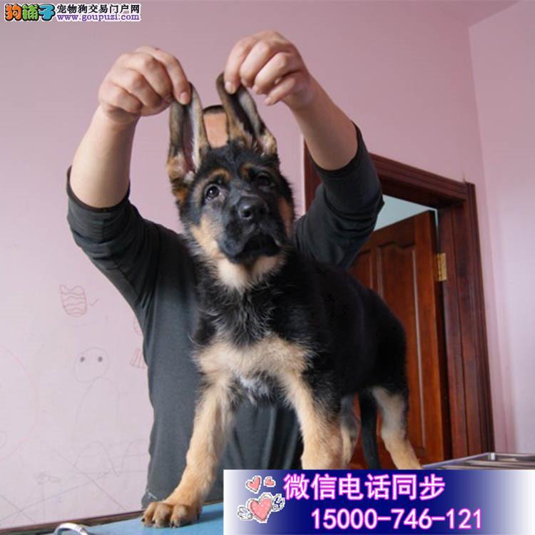家养纯种德国牧羊犬 保纯种包健康全国发货