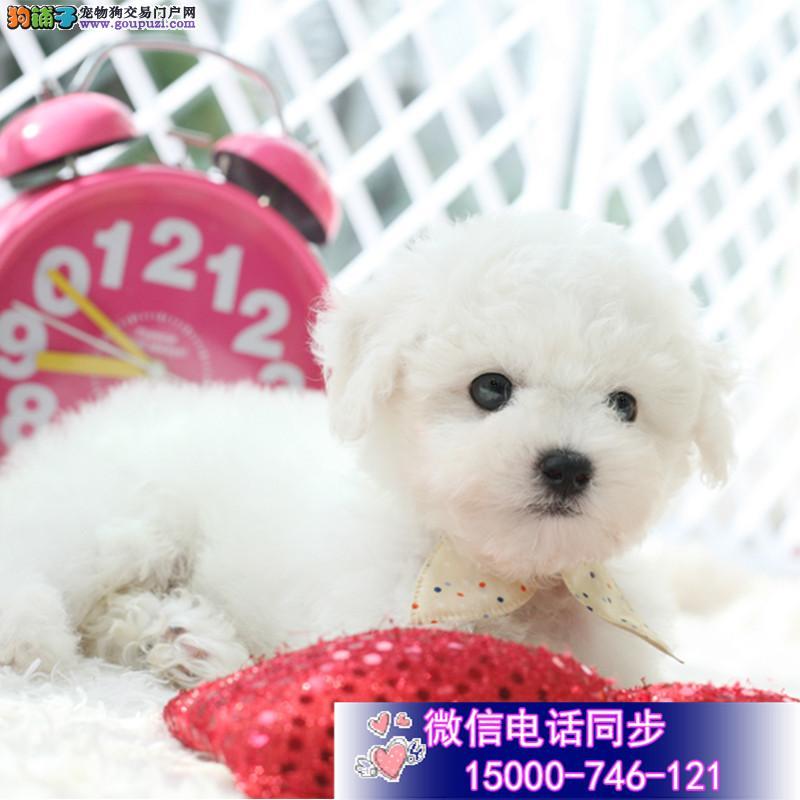 韩国引进大眼睛甜美脸型比熊幼犬上海送狗上门挑选