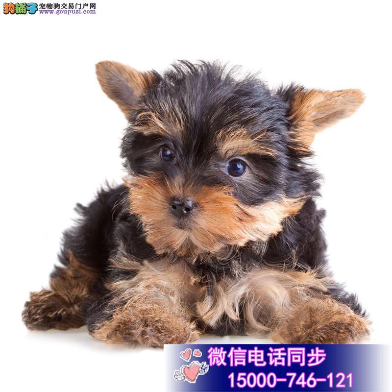 纯种可爱的约克夏幼犬宝宝出售 品质可靠疫苗齐全