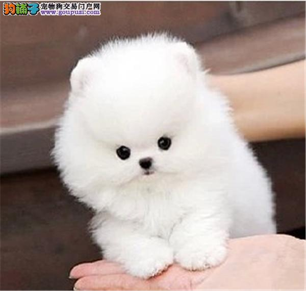 犬舍专业出售聪明博美等大众精品幼犬欢迎选购