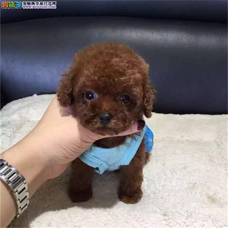 出售纯种家养泰迪犬一一签协议保终身一一可上门可送货