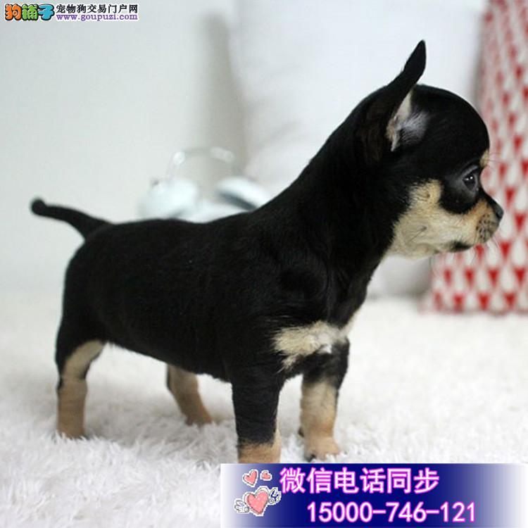 高品质吉娃娃幼犬出售 疫苗做完 质量三包终身免费售后