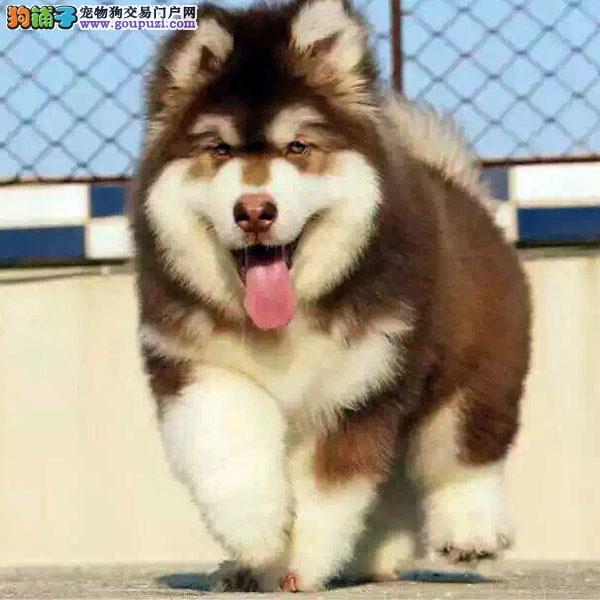 基地阿拉斯加犬舍专业繁殖巨型熊版纯种阿拉斯加雪橇犬