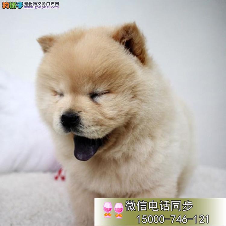 高端松狮犬繁育专家北京松狮犬舍出售顶级松狮幼犬