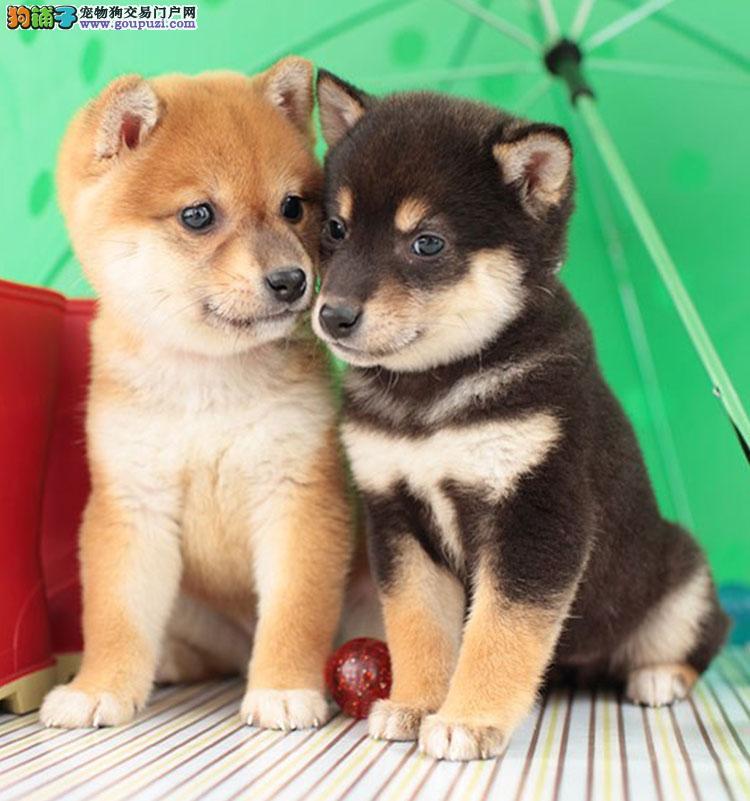 基地柴犬犬舍出售顶级日系纯种柴犬幼犬 保证纯种健康