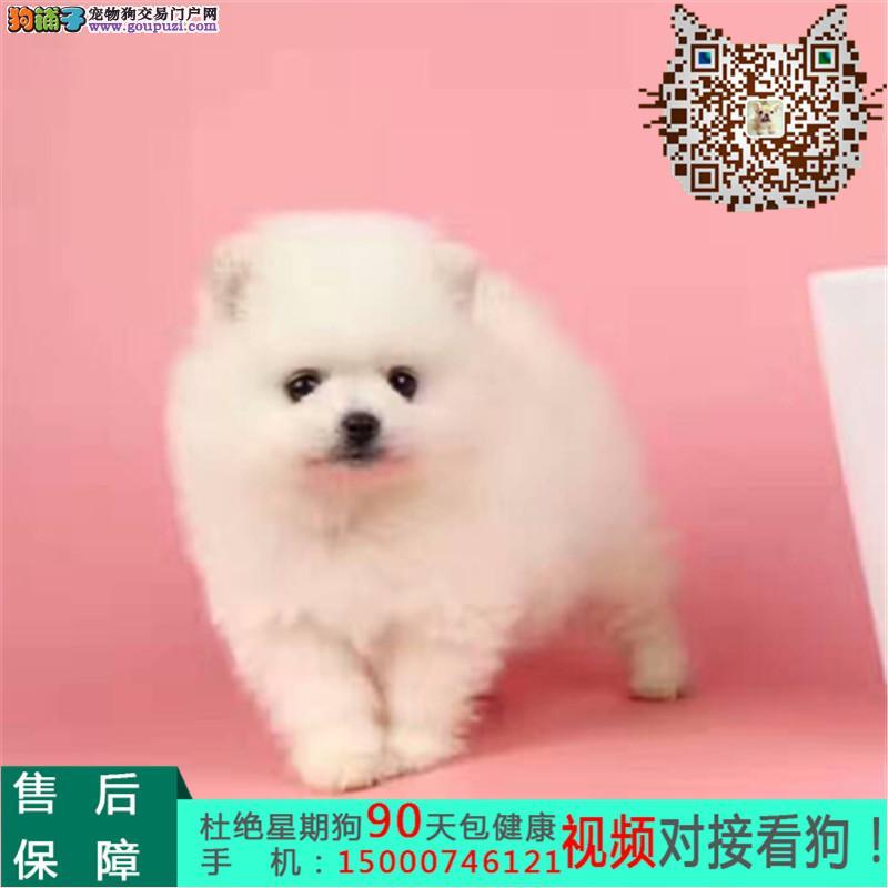 江苏出售纯种博美幼犬 纯种血系 质保健康
