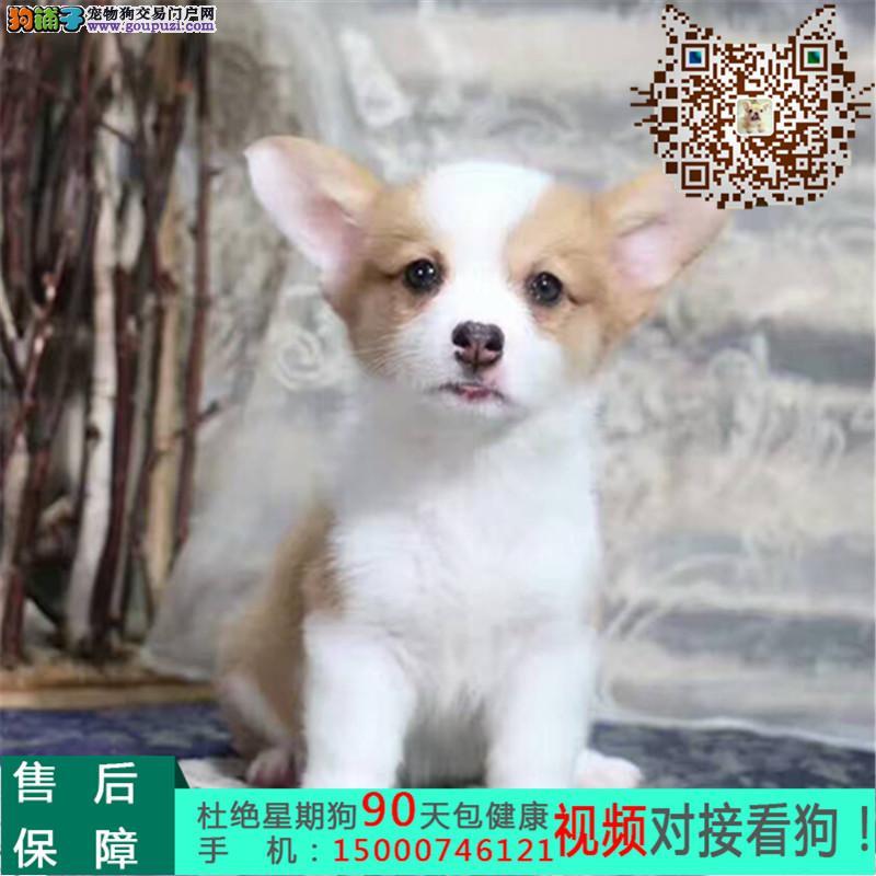 浙江赛级三色柯基幼犬 实物拍摄 终身质保可送货上门