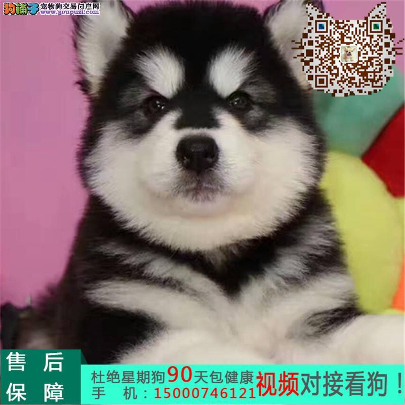 浙江巨型高品质的精品阿拉斯加幼犬出售赛级冠军级