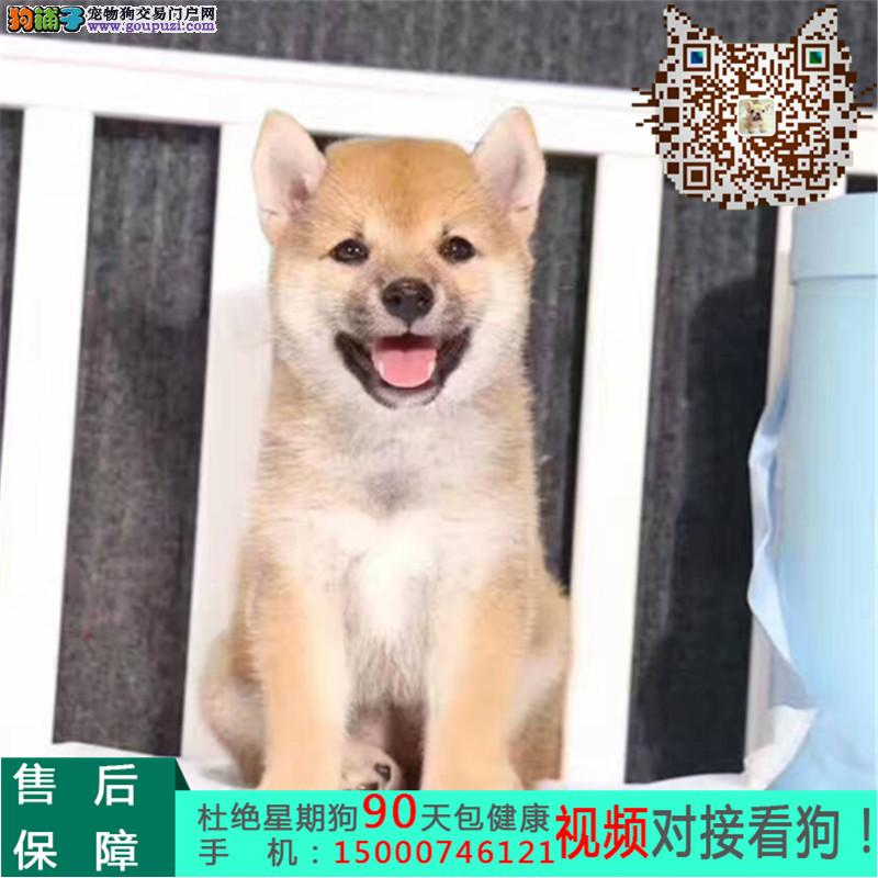 浙江正规狗场 日本柴犬基地 三个月包退换 送货上门