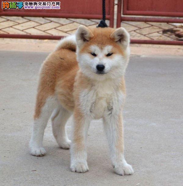 纯种八公,日系秋田犬出售,实体犬舍繁育