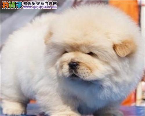 广州家养纯种松狮犬 有实拍照片 自取1000一只