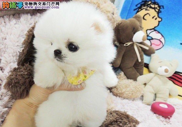 广州家养纯种茶杯犬 有实拍照片 自取1000一只