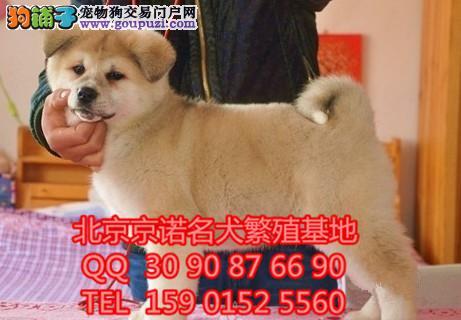 秋田犬,日系、美系、赛级秋田犬,有血统、质量保证