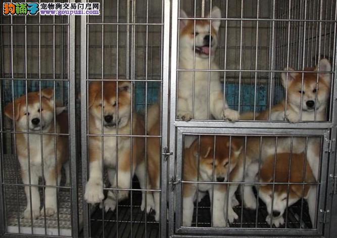 芒市哪有秋田犬卖 芒市秋田幼犬价格 芒市纯种秋田小狗