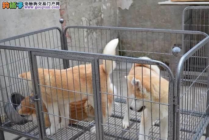 昭通买一只纯种秋田犬大概要多少钱