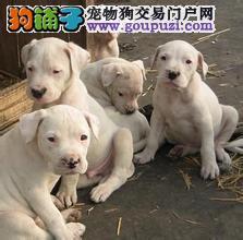 出售纯种杜高犬幼犬杜高犬狩猎活体犬杜高犬价格