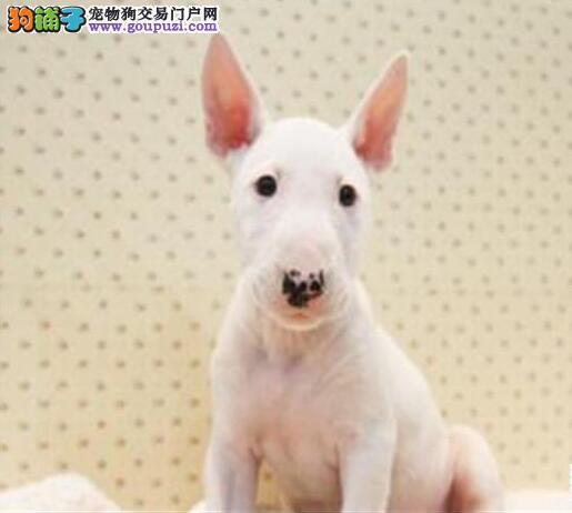 活体纯种牛头梗犬 幼犬公母颜色均有