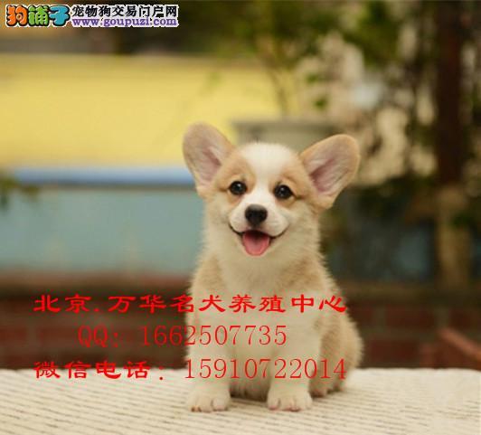 北京哪里有卖纯种柯基犬的威尔士柯基幼犬好养吗