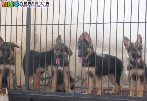 精品狼狗幼崽·苏州市纯种狼狗繁殖场