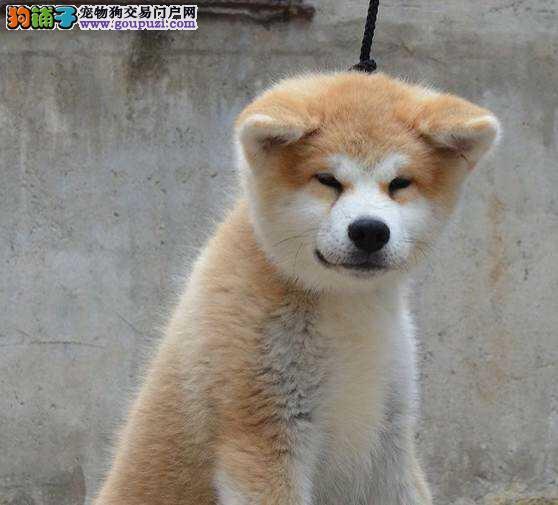 优良品质秋田犬狗市场_苏州市高品质健康秋