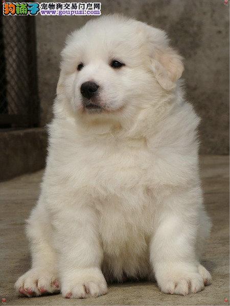 台州市多种颜色大白熊狗舍>常年直销大白熊