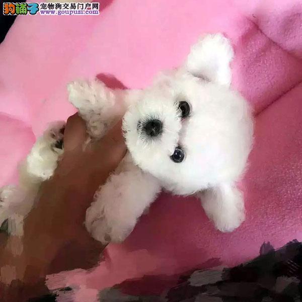 犬舍繁殖高品质  泰迪   保纯种保健康