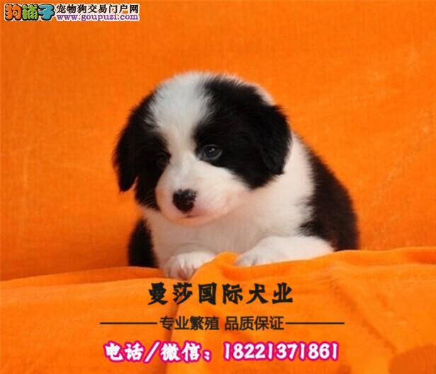 犬舍繁殖高品质斑点犬保纯种保健康