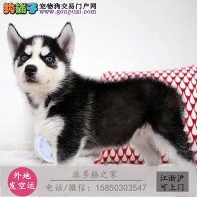 cku认证犬舍出售高品质 哈证件齐全
