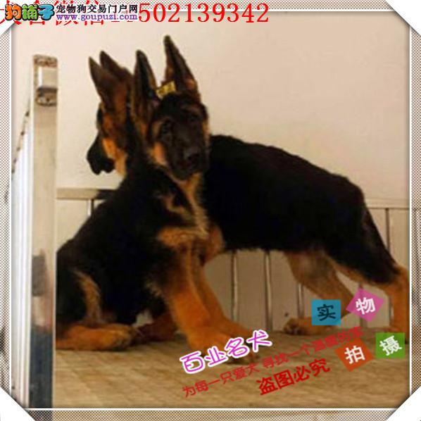 cku认证犬舍出售高品质 签协议证件齐全德牧幼犬