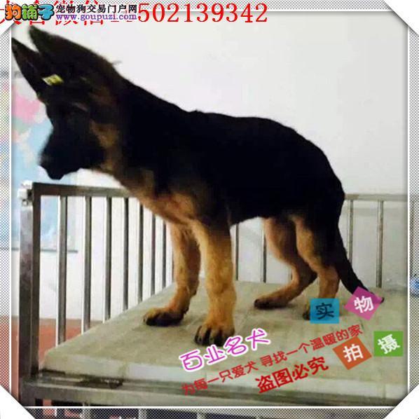 cku认证犬舍出售高品质 狼狗幼犬签协议证件齐全·