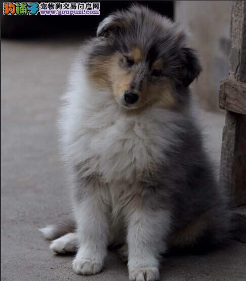 养殖场直销 苏牧幼犬包养活签协议上门可选