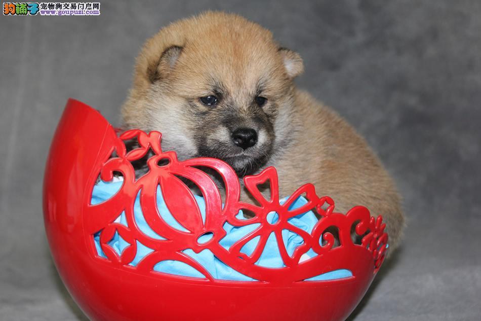 养殖场直销柴犬 幼犬包养活签协议上门可选